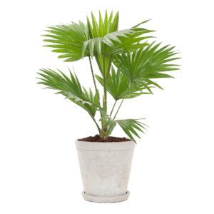 Livistona-rotundifolia-SOFTGREY-SMALL-Ø17-1